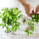 How To Use Basil As Pain Relief For Arthritis