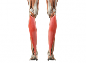 how to build soleus muscle